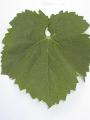 uva-del-monte