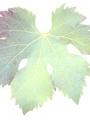 uva-del-sabato