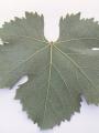 uva-del-vecchio