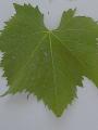 uva-moscia